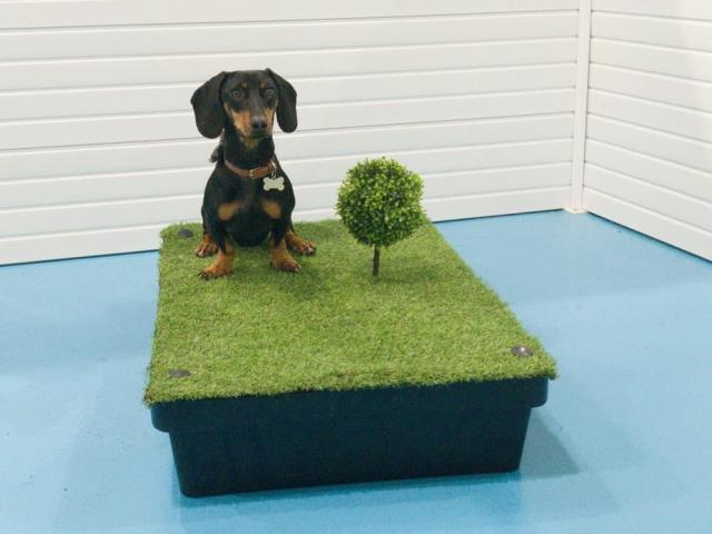 Dog training artificial grass